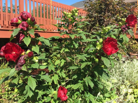 hibiscus01